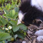 Chispa discovers strawberries
