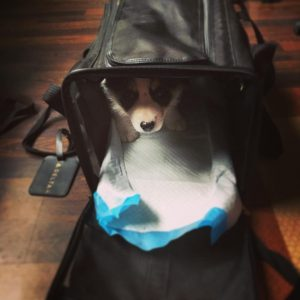 Chispa in her sherpa bag, waiting for a cookie